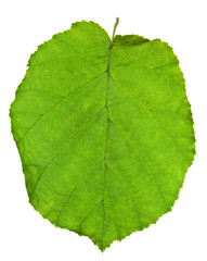 green leaf of hazel tree
