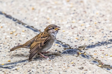 Youngling Yellow-Beak Sparrow With Injured Wing - At The Crossro