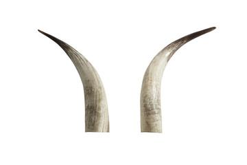 Big ivory tusks