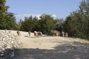 Moutons dans Ventoux