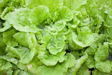 Green's Lettuce