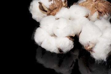 黒色の背景に綿の実のアップ