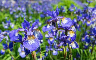 Fond de hotte en verre imprimé Iris Closeup of flowering Siberian Iris plants