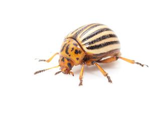 Colorado potato beetle on a white background