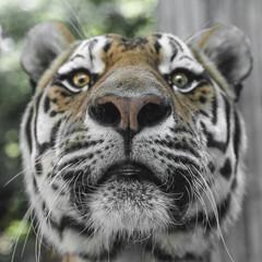 Close Portrait of beautiful Tiger