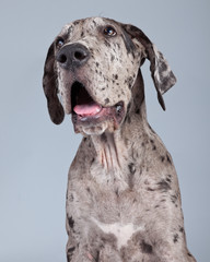 Obraz Puppy great dane dog grey with black spots isolated against grey - fototapety do salonu