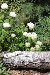 Helle Hortensie blüht umgeben von purer Natur