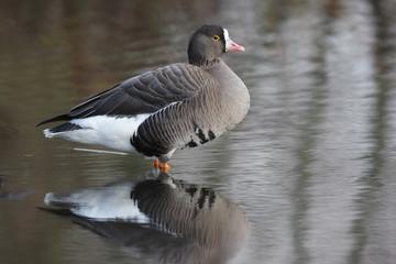 Fotoväggar - Lesser white-fronted goose, Anser erythropus