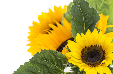 Isolated Sunflowers