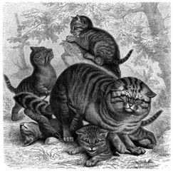 Wild Cat - Chat sauvage - Felis Silvestris
