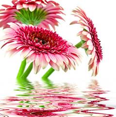 Obraz Piękne różowe gerbery na białym tle - fototapety do salonu