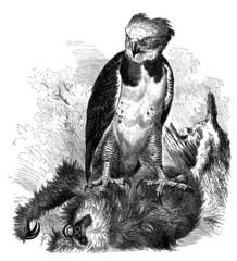 Bird : Harpie (Thrasaëtus Harpyia)
