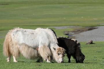 Yacks mongols, blanc et noir