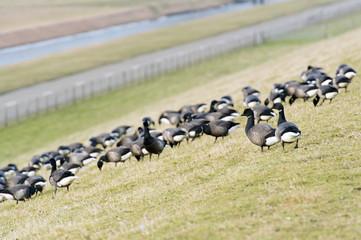 Swarm Brent gooses at the dike