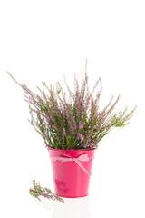 Heath in flower pot