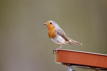 Fotoväggar - Robin, Erithacus rubecula