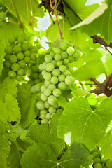 Fresh green grapes hanging on a branches