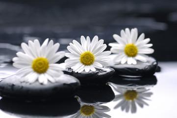 Obraz Row of daisy with zen stones reflection - fototapety do salonu