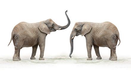 The African Elephant (Loxodonta Africana).