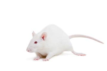 white laboratory rat isolated on white background