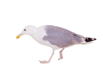European Herring Gull, (Larus argentatus), 2 years old