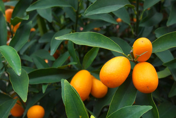 kumquat orange