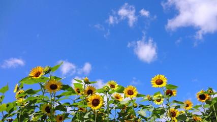 向日葵咲く