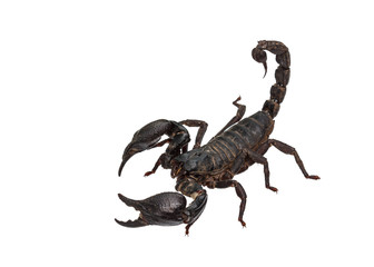 Asian giant forest scorpion (Heterometrus laoticus)