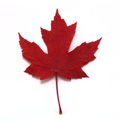 Vivid red maple leaf close up