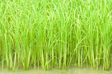 row of rice in farm