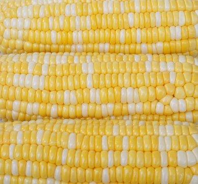 corn, bicolor
