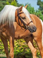 portrait of palomino welsh pony