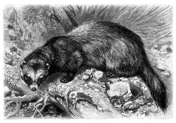 Polecat - Stinkdachs - Putois