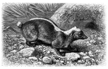 Polecat - Putois - Stinkdachs