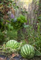watermeoln in a garden
