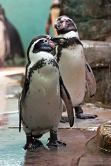 Humboldt penguin standing and looks