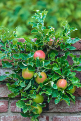 Apple tree with ripened apples in an orchard