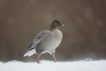 Fotoväggar - Pink-footed goose, Anser brachyrhynchus