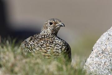 Fotoväggar - Ptarmigan, Lagopus mutus