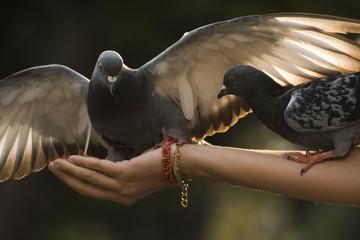 Great Pigeons