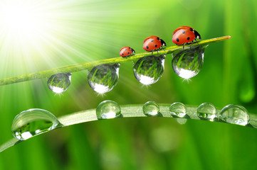 Wall Mural - fresh grass with dew drops and ladybugs