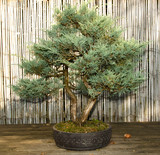 "bonsai baum garten, japanischer garten bonsai baum"" stock photo and royalty-free images, Design ideen"