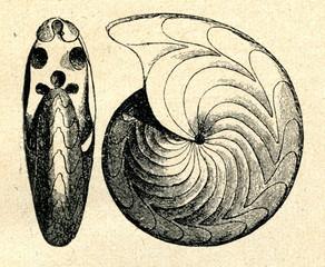 Goniatites rotatorius