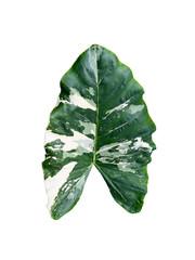 Variegated elephant ear leaf isolated on white background