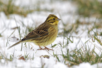 Wall Mural - Yellowhammer, Emberiza citrinella