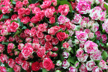 Close-up of bunch of freshly cut beautiful roses