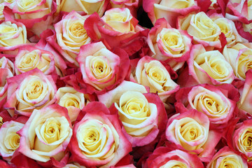 Close-up of bright bunch of freshly cut beautiful roses
