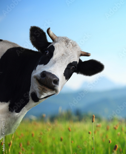 Wall mural Cow