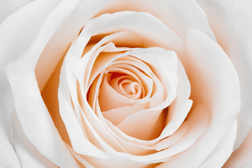 Beautiful white rose.