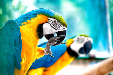 Macaw parrots in the wild with tropical jungle background